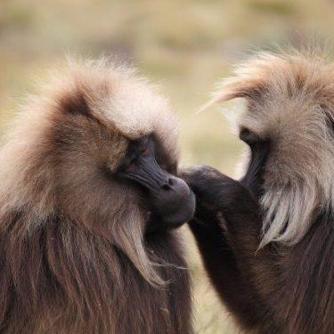 Luxury travel to Ethiopian Gelada Baboons