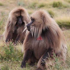 Ethiopia small group tour visiting Chilada Baboon in SMNP